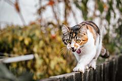 Matching the Autumn Colours (jameslf) Tags: animal autumn berkshire cat garden kitten maple pet reading