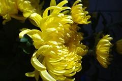 Chrysantheme (Gartenzauber) Tags: greatphotographers floralfantasy