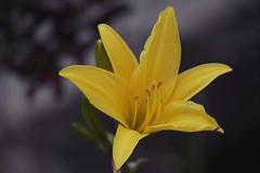 Hablando de vos ❣ (natyasanchez) Tags: hemerocallis garden gardenflowers yellow yellowflower petals stamen ornamental samsungnx flower daylili
