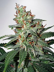Unknown (Watcher1999) Tags: cannabis medical marijuana seeds growing strain thc weed plant smoking weeds ganja legalize it