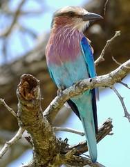 Lilac-breasted Roller (Coracias caudatus) (berniedup) Tags: lilacbreastedroller coraciascaudatus roller taxonomy:binomial=coraciascaudatus bird kruger
