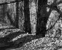 Plato's cave (lebre.jaime) Tags: portugal beira covilhã contax g2 planar 4520 fujifilm c200 autumn fall leaves wall shadow conceptual ptbw noiretblanc
