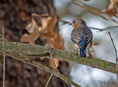 Eastern bluebird. (vickyouten) Tags: easternbluebird bluebird bird nature wildlife wildlifephotography nikon nikond7200 nikonphotography nikkor55300mm smithmountainlake virginia america usa vickyouten