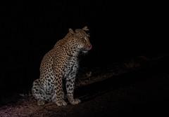 Preparing for work (Tris Enticknap) Tags: leopard africanleopard cat pantherapardus pantheraparduspardus africa zambia southluangwa