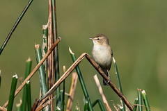 HoskoteBirding_Jan2019_D75_8530 (mgcs) Tags: birds indianbirds karnataka nikond750 nikkor200500 wild handheld