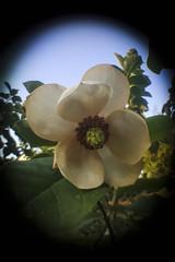 Magnolia (Steve lunn) Tags: closeup macrolens vignette flower