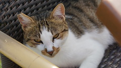 2015-09-20_16-51-32_ILCE-6000_DSC00255 (Miguel Discart (Photos Vrac)) Tags: 105mm 2015 animal animalphotography animals animalsupclose animaux cat cats chat chats colakli e1670mmf4zaoss focallength105mm focallengthin35mmformat105mm holiday hotel ilce6000 iso100 kamelya kamelyaworld nature naturephotography pet sony sonyilce6000 sonyilce6000e1670mmf4zaoss summer turkey turquie vacance vacation