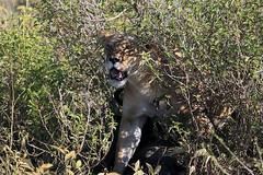 Lione4ss at Ndutu in the Ngorongoro Conservation Area in Tanzania (inyathi) Tags: africa eastafrica tanzania africanwildlife africananimals africanlions lionesses pantheraleo ndutu ngorongoroconservationarea nca carnivores predators bigcats cats lions serengeti