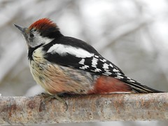 Middle Spotted Woodpecker (Leiopicus medius) (eerokiuru) Tags: middlespottedwoodpecker dendrocoposmedius mittelspecht dzięciołśredni tammekirjurähn woodpecker bird p900 nikoncoolpixp900