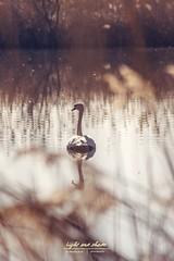 Einsamer Schwan (Light and shade by Monika) Tags: rieselfelder münster münsterland schwan beautifullight
