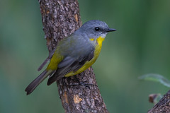 Eastern Yellow Robin 1 (RoosterMan64) Tags: australia australiannativebird bird easternyellowrobin nsw nature robin wildlife