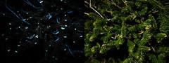 UV-induced fluorescence: conifer tree (Bushman.K) Tags: uv fluorescence night conifer resin needle branch