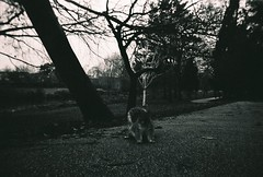 Winter Squirrel (johnnytakespictures) Tags: ilford ilfordxp2super disposablecamera disposable blackandwhite bw 35mm analogue leamingtonspa leamington warwickshire gardens park nature natural curious squirrel wildlife animal winter evening jephsongardens jephson december