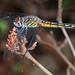 Blue Dasher - Pachydiplax longipennis, Lake June-in-Winter Scrub State Park, Lake Placid, Florida