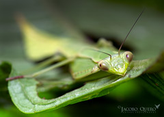 Mantis sin identificar/ Unidentified Mantis (Jacobo Quero) Tags: mantis leafmantis insect insecto wildlife amazon nature amazonía naturaleza animal green verde jungle macro nikon