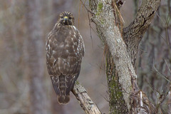 You Looking at Me? (Maggggie) Tags: redshoulderedhawk backward backyard bird hawk raptor tree standing woods 365the2019edition 3652019 day17365 17jan19