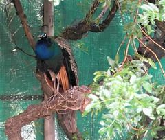 _SAM2837 (maddoctorartist) Tags: birds worldofbirds southafrica houtbay jackasspenguin goldenpheasant oriole starling peacock peahen ducks ibis himalayanmonal parrot macaw pigeons