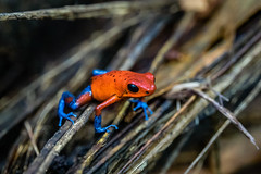 Costa Rica (bransch.photography) Tags: jungle natural color exotic nature water frog jumping vacation holiday animal fauna colorful wildlife beautiful travel treefrog tourist amphibian outdoors outdoor america tourism tropical costarica colour