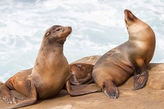 La Jolla Cove (pulper) Tags: red sealion sealions sandiego lajolla lajollacove cute togetherness sunning sun pair flippers whiskers couple
