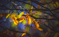 Autumn Series - 24 (Dhina A) Tags: sony sonya7rii a7rii a7r2 bokeh minolta250mmf56 minolta 250mm f56 reflex mirror colors colourful fall autumn leaves