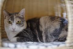 A7R3__DSC2137_DxO (Bazoka+Cynthia) Tags: pupu 小婆 新北市 樹林區 貓 cat