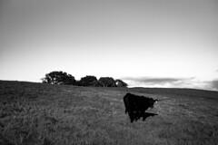 *** (Misha Sokolnikov) Tags: nature cow sunset leica leicamonochrom leicamm leicamsystem leicacamera 50mm aposummicron california stanford stanforddish paloalto ca
