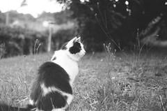 Beloved cat (Camillelcrt) Tags: noir et blanc bw zorik4k zorki animals cats nature