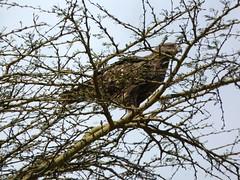 Tawny eagle - Aquila rapax (Linda DV (away)) Tags: accipitriformes lindadevolder africa 2018 lumix travel geotagged nature kenya fauna nakuru lake nakurunationalpark aquilarapax tawnyeagle