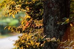Autumn colors (darko.jakovac) Tags: nikon d750 nikond750 sigma 150600 sigma150600 contemporary telephoto dolenjska slovenija slovenia slowenien discover explore trip travel traveling relax view viewpoint ngc season outdoor outdoors outside hiking adventure perspective activities roam visit environment explorers ecological nature landscape scenery scenic idyllic beauty beautiful seasonal unique perfect superb magnificient stunning impressions outstanding popular colors colorful postcard wallpapper leaves tree forest afternoon autumn fall countryside