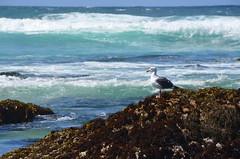Oceanside bird (afagen) Tags: california pacificgrove montereypeninsula asilomar beach pacificocean ocean asilomarstatemarinereserve bird