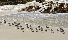 Surf birds (afagen) Tags: california pacificgrove montereypeninsula asilomar beach pacificocean ocean asilomarstatemarinereserve bird