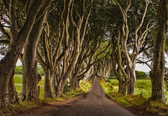 the dark hedges (-liyen-) Tags: northernireland darkhedges path countyantrim trees beechtrees rural field gameofthrones challengeyouwinner matchpointwinner mpt678