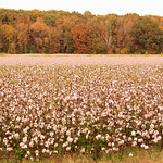 West Tennessee Cotton Field thumbnail