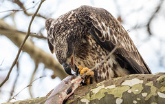 7K8A3223 (rpealit) Tags: scenery wildlife nature conowingo dam susquehanna river maryland immature bald eagle eating fish bird
