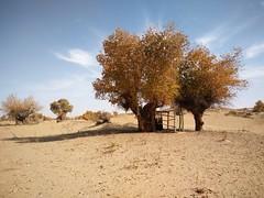 Por la cuenca del Deriya. Desierto de Taklamakán. China (escandio) Tags: casa taklamakan populuseuphratica keriya china2018 china 2018 2 xinqian