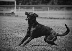 catch (Joseph Figueiredo) Tags: dog puppy black ball catch happy outdoors pet friend lab labrador
