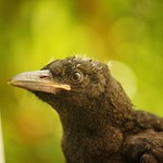 Last chicks in the Currawong nest thumbnail