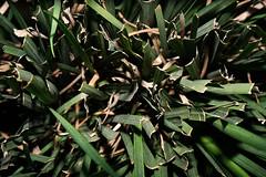 Inside (José Ramón de Lothlórien) Tags: hojas treboles ramas flores plants sol verde green follage nature naturaleza