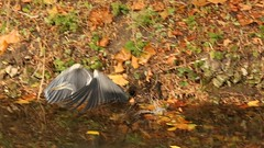 Grey Heron, 19112018, (29) f (alanblunden) Tags: lloydramsdenwalk wildbird riverwitham bird alongtheriver wildlife autumn grantham wild wyndhampark granthamsriversidewalkcycleway park greyheron river november uk water grey heron autumn2018 november2018