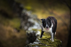 45/52 Life ontop of the Wall (JJFET) Tags: 4552weeksfordogspaddybordercolliesheepdog border collie dog sheepdog herding black white