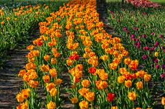 NJH_7751 (norjam8) Tags: tulipfestival tuliptime flowers tulips