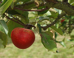 2018_09_0802 (petermit2) Tags: appletree apple apples orchard tree walledgarden clumberpark clumber nottinghamshire nationaltrust nt