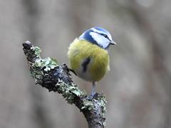 Blue Tit (Parus caeruleus) (eerokiuru) Tags: bluetit paruscaeruleus sinitihane bird blaumeise p900 nikoncoolpixp900