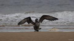 Gannet (juvenile) (Dr Wood's Wildlife Photos) Tags: guga gannet morusbassanus northerngannet havsule havssula foudebassan janvangent alcatraz gluptakzwyczajny sula suula sule gansopatolacomum