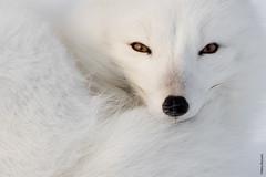 artic fox (Mary Bassani) Tags: articfox volpe fox white snow volpeartica retrato closeup eyes canada churchill manitoba animalplanet ngc naturewildlife canonphotographer canon naturewildlifephotographer mammal mammiferi miradas