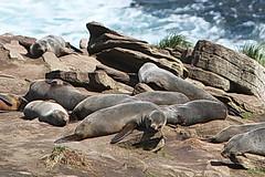 South American Fur Seal (Bird Aficionado Stan) Tags: falklandislands falklands newisland seal furseal southamericanfurseal