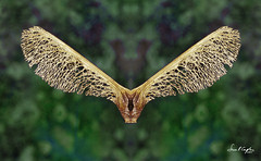 Winged Beast (Simon Caplan) Tags: macro stilllife autumn seedpod seeds sycamore winged creative photoshopped