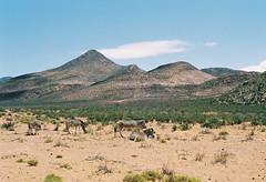 (DawnChapman) Tags: analog 35mm film fuji fujicolor fujicolorsuperia200 superia200 filmphotography travel zebra safari reserve aquila capetown southafrica