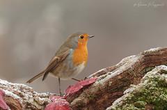 Pettirosso - Robin (Simone Mazzoccoli) Tags: robin winter nature wildlife birds birdwatchin animals ice frozen light background