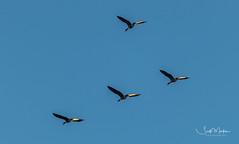 IMG_0146 (Scott Martin - Photographer) Tags: animals inglewoodbirdsanctuary calgary alberta canada geese
